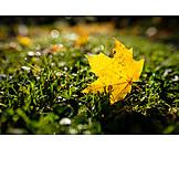 Maple leaf, Autumn leaf