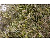 Olive tree, Olive