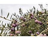 Olives, Olive tree