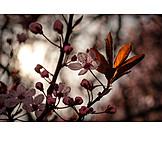 Backlighting, Fruit flower, Plum