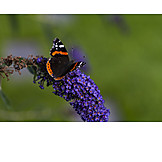 Butterfly, Red admiral butterfly