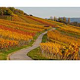 Vineyard, Vine leaves, Autumn colors